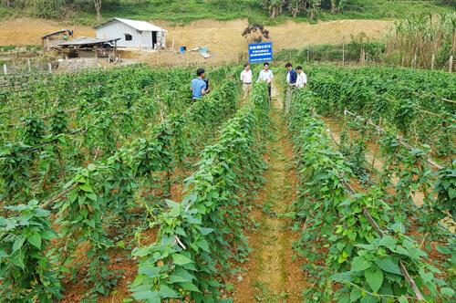 Cách trồng hà thủ ô