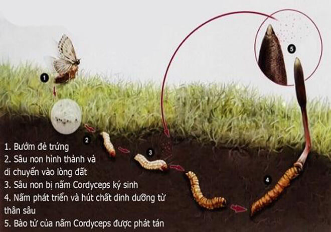 Vòng đời của dông trùng hạ thảo