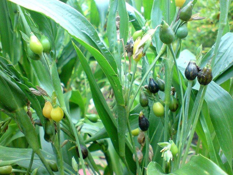 Ý dĩ Các loại cây thuốc nam